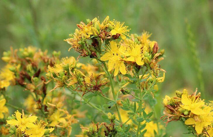 Sarı kantaron yağı nedir? Sarı kantaron yağının faydaları neler?